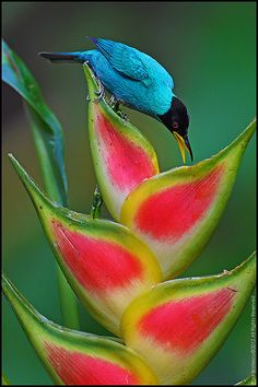 Honeycreeper (Chlorophanes spiza) It is found in the tropical New World from southern Mexico south to Brazil, ...