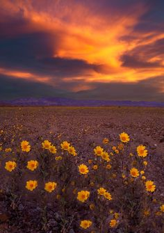 Super bloom set to fill death valley with flowers death valley immortal i visited death valley during the super bloom in the spring of 2016 mightylinksfo