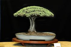 Akazie grün-bonsai baum-geeignete Arten-Standort bewässerung