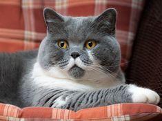 British Shorthair | Estos adorables gatos son fáciles de cepillar y aman ser agobiados con atenciones. Es fácil de ver por qué las personas se enamoran perdidamente de una de las razas (obviamente) más lindas que exista.