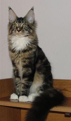 Maine Coon Kitten (~PR~ My Maine Coon, Casey.)