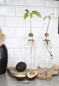 Plant Avocado: Step-by-step instructions - from core to avocado plant pflanzen Aquaponics – Jetzt können Sie ganz einfach Ihr eigenes Gemüse anbauen Water Garden, Garden Plants, Indoor Plants, Herb Gardening, Urban Gardening, Indoor Gardening, Yucca, Decoration Plante, Plants Are Friends