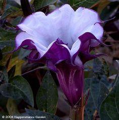 Devil's Trumpet, Horn of Plenty, Downy Thorn Apple 'Double Purple' (Datura metel)