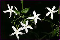 Jasmine Absolute Profile includes uses, constituents, aromatic description, extraction method, latin name, safety info and references.