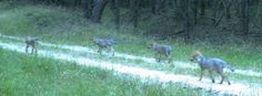 Wolfswelpen in Mecklenburg-Vorpommern im Juli 2014: Deutschland beherbergt derzeit etwa 19 Wolfsrudel
