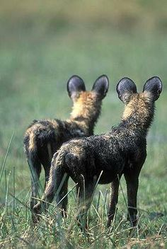 Paul Souders Botswana, Moremi Game Reserve, African Wild Dogs
