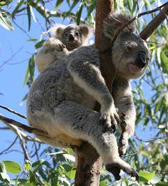 Koala bear and baby Cute Funny Animals, Funny Animal Pictures, Animals And Pets, Baby Animals, Mon Zoo, Panda, Interesting Animals, Australian Animals, Cute Creatures