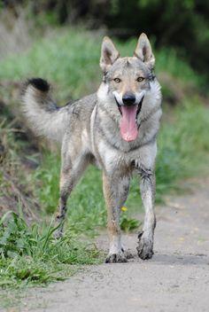 Wolfdog by Wazniaki.deviantart.com on @deviantART Beautiful Dogs, Animals Beautiful, Tamaskan Dog, Pet Wolf, Animals And Pets, Cute Animals, Czechoslovakian Wolfdog, Unique Dog Breeds, Wolf Photos