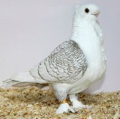 satinetpigeon colour- double colour Satinette pigeons are one of the oldest and beautiful pigeon species This pigeon has a white body, tricolor shoulders and , Pet Adoption Service Hyderabad, Pigeon Cage, Pigeon Bird, Fantail Pigeon, Cute Pigeon, Animals And Pets, Cute Animals, Pigeon Pictures, Pigeon Breeds, Pigeon Loft