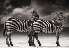 Beautiful black-and-white images of East African wildlife by the renowned fine   art photographer Nick Brandt.