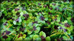 Trevo-de-quatro-folhas, Oxalis tetraphylla. Uma herbácea com grande poder de multiplicação. Ornamental, de floração delicada, multiplica-se por divisão de bulbos, em solo rico em matéria orgânica que deve ser mantido sempre úmido.  Fotografia: Mário Franco.