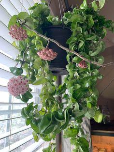 Hindu Rope plant in bloom. One of my favorites in my collection. Big Indoor Plants, Hanging Plants, Hindu Rope Plant, Hoya Plants, House Plant Care, Small Backyard Gardens, Pink Garden, Bathroom Plants, Tropical Plants