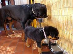 like father ...like son #Rottweiler #dog #breed