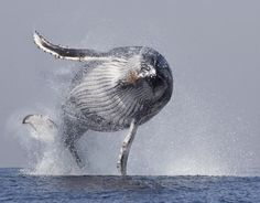 A huge humpback whale leaps out of the water in an amazing display of strength and agility.