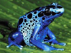 [IMG] La grenouille au dard de poison. -google