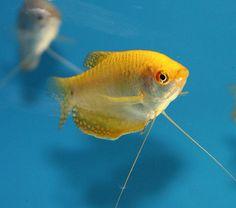 Golden Gourami (Trichogaster trichopterus). Live Tropical Aquarium Fish at Aquarist Classifieds