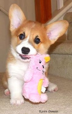 All the things we all admire about the Cute Corgi Puppies pembroke welsh corgi tricolor Baby Corgi, Cute Corgi Puppy, Corgi Dog, Cute Puppies, Cute Dogs, Corgi Funny, Teacup Puppies, Lab Puppies, Corgi Pictures