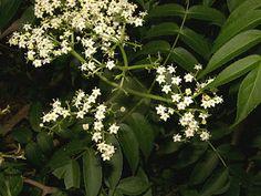 FLORA DE MISIONES Argentina: Adoxaceae