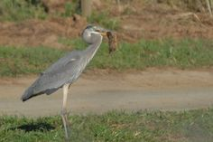 Hendry Vineyard Life 26: Expect Great Blue Herons to eat fish in our reservoirs? They also deal with our gophers. #hendryvineyardlife