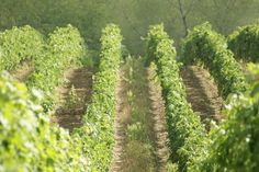 vigna nelle Marche, Italia