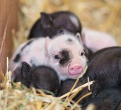 These little piglets were born at Zoo Basel - read about the litter of eight today on ZooBorns.com and at http://www.zooborns.com/zooborns/2013/05/eight-minature-piglets-for-zoo-basel.html