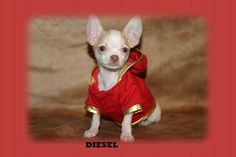 "Fairytailpuppies ""where pets are family too - DIESEL"
