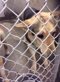 NEXT on DEATH ROW - German Shepherd male 1-2  Years old   Kennel A14  Available 3-25-2014   Located at the worst HIGH KILL Shelter in Texas, Odessa, Texas Animal Control. https://www.facebook.com/speakingupforthosewhocant/photos/pb.248355401855372.-2207520000.1395383496./746360548721519/?type=3&theater