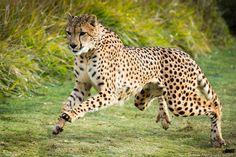 san-diego-safari-park-cheetah-run-2.jpg 1,600×1,067 pixels