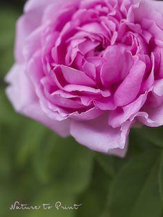 Rose Madame Boll erwacht nach diesem beherztem Sommerschnitt gesund zu neuem Leben und beschert laufend frische Blüten bis zum Frost