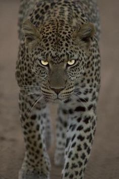 """The leopard (Panthera pardus) is one of the five """"big cats"""" Nature Animals, Animals And Pets, Cute Animals, Funny Animals, Wild Animals, Baby Animals, Fierce Animals, Beautiful Cats, Animals Beautiful"""
