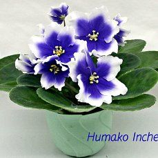 Blooming Flowers, Blue Flowers, Violet Plant, Saintpaulia, Inside Plants, Special Flowers, Blue Garden, Beautiful Flowers Garden, African Violet