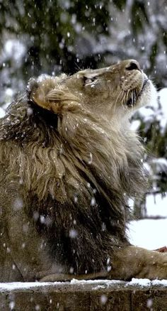 A lion in winter. The Lion The Witch and The Wardrobe. Nature Animals, Animals And Pets, Cute Animals, Wild Animals, Baby Animals, Beautiful Cats, Animals Beautiful, Beautiful Things, Big Cats