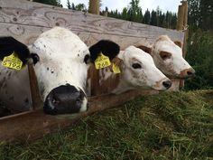 Suomalainen maaseutu on vielä kaunis, puhdas ja rauhallinen paikka. Tästä pitäisi puhua paljon enemmän. Jakaantuminen vie voimia, kun taas yhteisöllisyys toisi niitä lisää, Anneli Eronen pohtii. Cow, Animals, Animais, Animales, Animaux, Animal, Dieren
