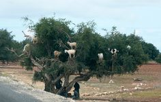 Goats Grow on Trees -    Actually they climb the Argan trees to eat the nuts.  This, however, is a staged situation to draw tourists who will be charged for the photograph...