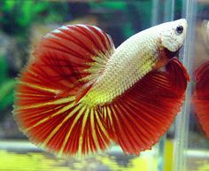 Some interesting betta fish facts. Betta fish are small fresh water fish that are part of the Osphronemidae family. Betta fish come in about 65 species too! Tropical Freshwater Fish, Freshwater Aquarium, Aquarium Fish, Beautiful Tropical Fish, Beautiful Fish, Fish Antibiotics, Felt Fish, Pretty Fish, Colorful Fish