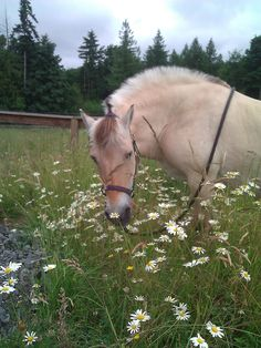 My old mare, Sally, stopping to sniff the daisys