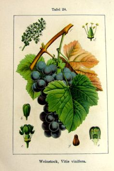 1905  gorgeous antique grape vine and holly by LyraNebulaPrints, $17.50