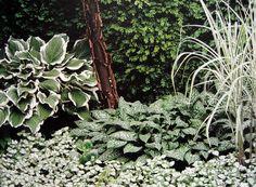 Bilden finns publicerad i boken Din trädgård. Olika marktäckande växter; Funkia med sina vitkantade blad och den prickiga lungörten som blommar med små vitablommor. Det vackra gräset skapar kontrast med sina tunna spetsiga blad.