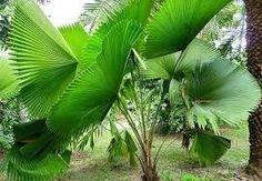 mudas de palmeira licuala