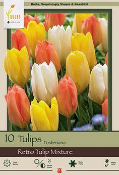 Tulip Tulipa Fosteriana Retro Tulip Mixture from Netherland Bulb