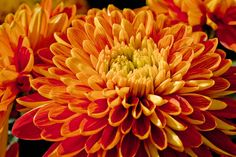 Read more about Chrysanthemum: Symbolism at Beneva Flowers & Gifts . Scorpio Star Sign, Wedding Bouquets, Wedding Flowers, Chrysanthemum Flower, Blue Orchids, Flamboyant, Flowers For You, Wonderful Picture, Flower Pictures
