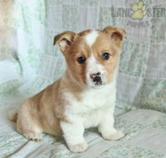 #WelshCorgi #Charming #PinterestPuppies #PuppiesOfPinterest #Puppy #Puppies #Pups #Pup #Funloving #Sweet #PuppyLove #Cute #Cuddly #Adorable #ForTheLoveOfADog #MansBestFriend #Animals #Dog #Pet #Pets #ChildrenFriendly #PuppyandChildren #ChildandPuppy #LancasterPuppies www.LancasterPuppies.com