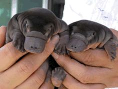 Baby duck billed platypus