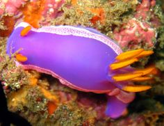 Nudibranchs are gastropod mollusks which live in the oceans worldwide from the polar regions to the tropics. The slugs live in virtually all depths and various species range from the shallow inter… Weird Sea Creatures, Ocean Creatures, Beautiful Creatures, Life Under The Sea, Under The Ocean, Great Whale, Cool Fish, Sea Slug, Beautiful Fish