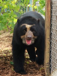Luka, the Andean Bear born at the Phoenix Zoo has moved to the Nashville Zoo