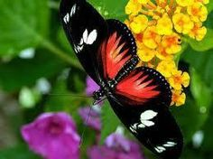 Beautiful Butterflies And Flowers Wallpapers - Bing Images Butterfly Photos, Butterfly Wallpaper, Butterfly Flowers, Mariposa Butterfly, Rainbow Butterfly, Flying Flowers, Butterflies Flying, Beautiful Bugs, Beautiful Butterflies