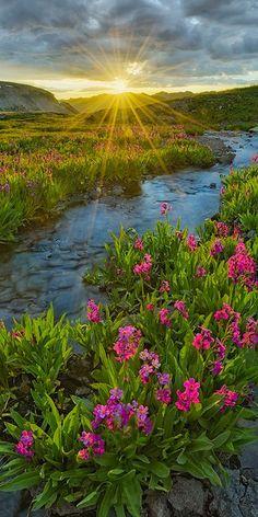 Alpine Primrose- San Juan Mountains – Colorado « Igor Menaker Fine Art Photography