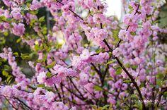 Babarózsa (Prunus triloba)
