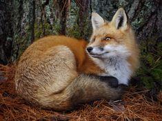 Red Fox от Daniel Knight