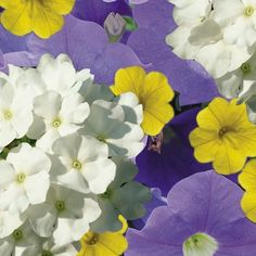 Daydream Designer Combination-Sky Blue Petunia           Yellow Calibrachoa          White Verbena